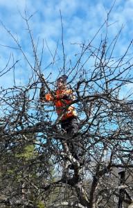 Omenapuun leikkausta omalla pihalla